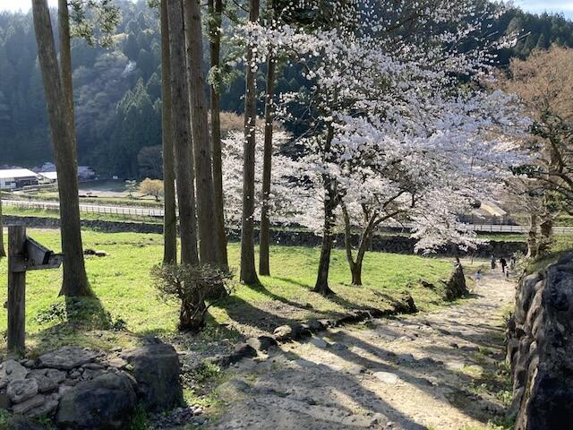 春の朝倉氏遺跡、坂道のさくら