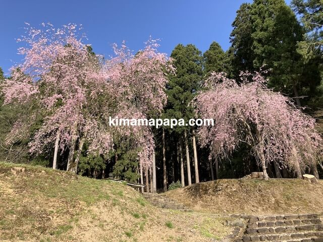 春の朝倉氏遺跡、英林塚(朝倉孝景墓)のさくら