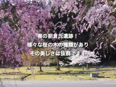春の朝倉氏遺跡!様々な桜の木の種類があり、その美しさは抜群です!