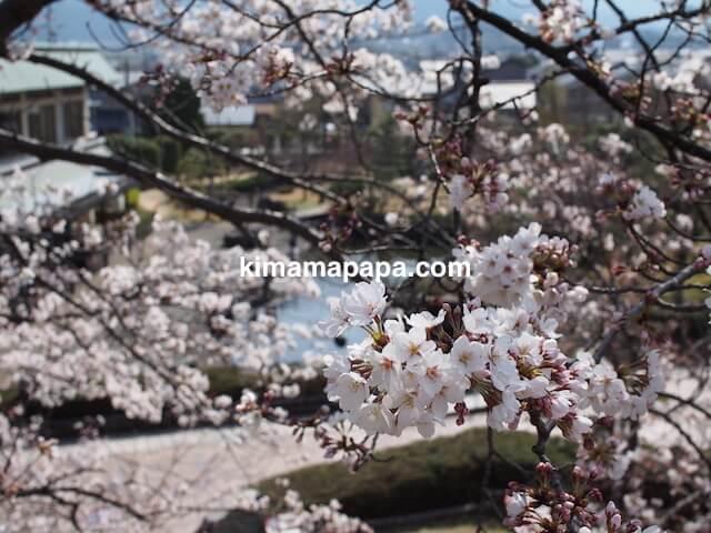 桜の季節、丸岡城の東側登り口から見た霞ヶ城公園
