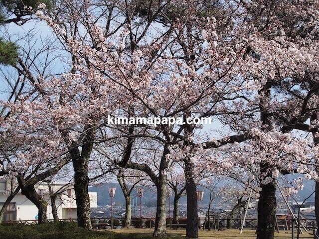 桜の季節、丸岡城広場の桜