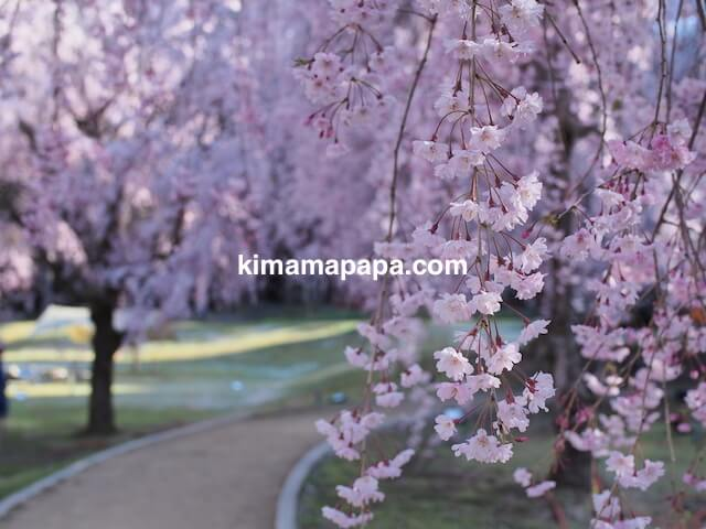 丸岡町竹田、竹田の里しだれ桜