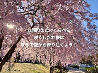 丸岡町のたけくらべに咲くしだれ桜は、まるで空から降り注ぐよう!