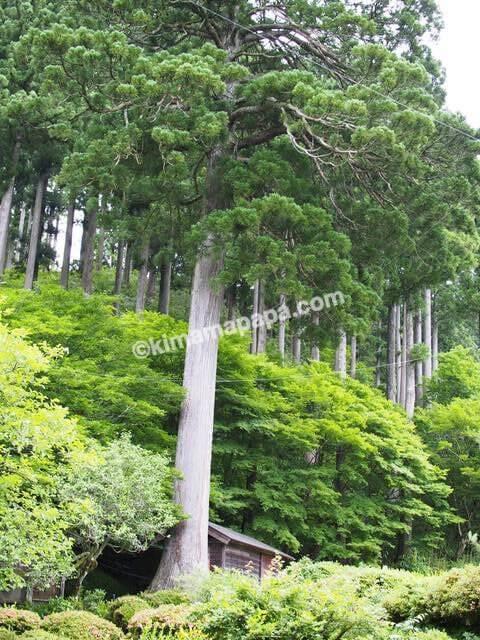 福井県丸岡町、千古の家の木々