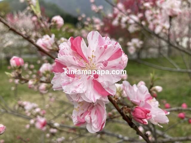 フレアール泉、はなもも回廊の里の花桃