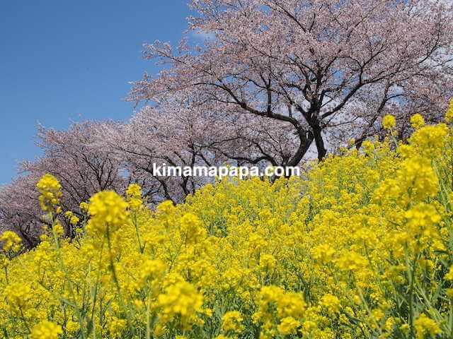 福井県鯖江市、日野川のさくらと菜の花