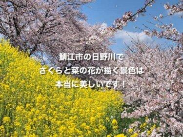鯖江市の日野川で、さくらと菜の花が描く景色は本当に美しいです!