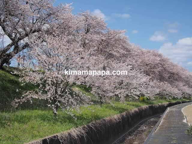 福井県鯖江市、日野川のさくら