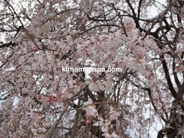 福井市、足羽神社のしだれ桜