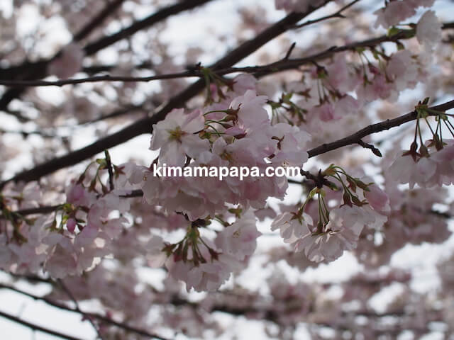 福井市、足羽川の桜