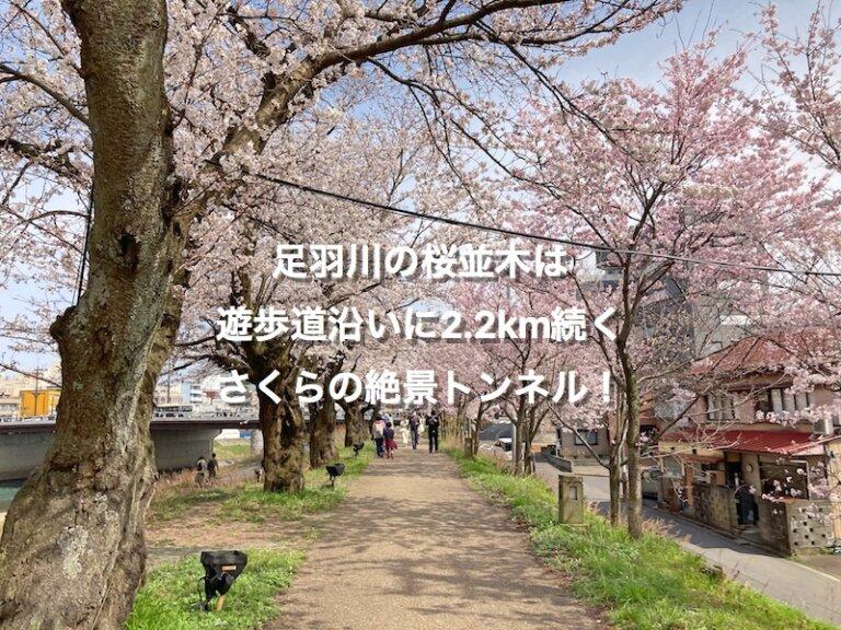 福井市、足羽川桜並木(桜橋〜幸橋)