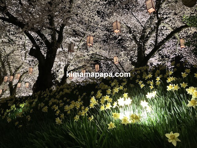 福井市、足羽川桜並木と水仙
