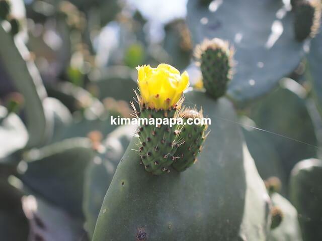 ゴゾ島、ジュガンティーヤ神殿のサボテンの花